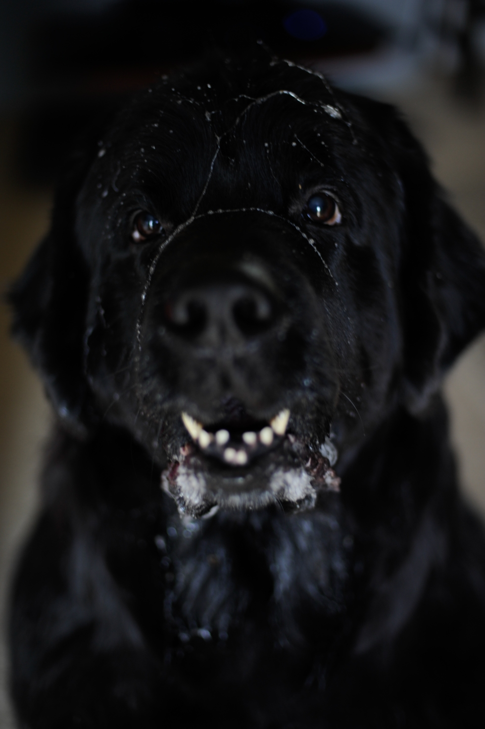 What happens when this greensboro, NC Wedding Photographers Newfoundland dog sees Mc Donald's